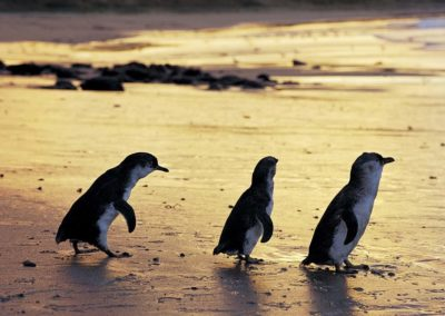 Melbourne's Phillip Island fairy penguins - a favourite for the kids